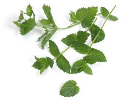 Herb- Mint